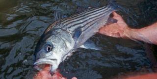 StripedBass-rockfish-closeup-BlairSeltzCBFStaff_458x232