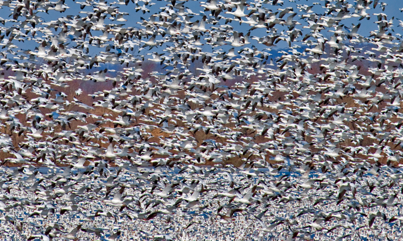 FB7022 - Snow Geese at Lift-Off Spring Migration