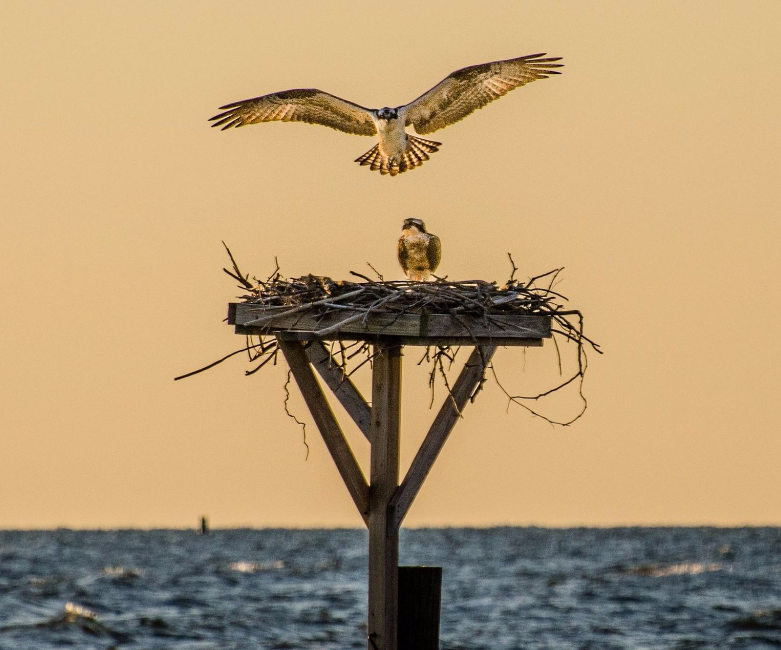 Osprey return to nest