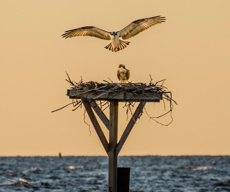 Osprey return to nest