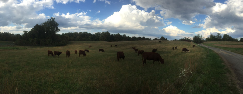 Clagett Cow Panorama