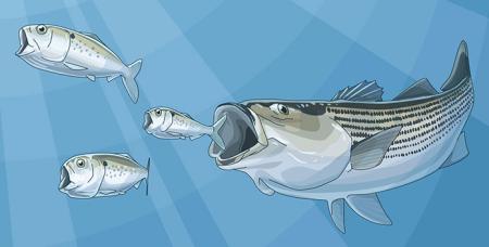 Menhaden-illustration-w-striper_PewCharitableTrusts_695x352