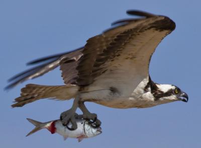 IStock_000013646856small_osprey & menhaden